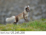 Купить «Arctic fox (Alopex lagopus) looking alert, Svalbard, Norway, July», фото № 25245200, снято 17 сентября 2019 г. (c) Nature Picture Library / Фотобанк Лори