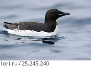 Купить «Brunnich's Guillemot (Uria lomvia) on sea surface, Svalbard, Norway July», фото № 25245240, снято 5 июля 2020 г. (c) Nature Picture Library / Фотобанк Лори