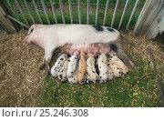 Купить «Gloucester Oldspot Piglets (Sus scrofa) suckling from sow. UK», фото № 25246308, снято 26 сентября 2018 г. (c) Nature Picture Library / Фотобанк Лори
