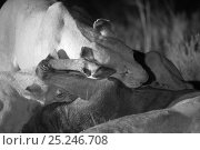 Купить «Marsh pride lions (Panthera leo) feeding on a Wildebeast at night, Masai Mara, Kenya, taken with infra-red camera, September», фото № 25246708, снято 19 января 2018 г. (c) Nature Picture Library / Фотобанк Лори