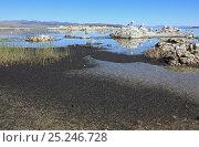 Купить «Swarm of Alkali flies (Ephydra hians) swarming over Mono Lake, California, USA», фото № 25246728, снято 19 октября 2019 г. (c) Nature Picture Library / Фотобанк Лори