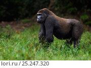 Купить «Western lowland gorilla (Gorilla gorilla gorilla) sub-adult male 'Kunga' aged 13 years standing portrait, Bai Hokou, Dzanga Sangha Special Dense Forest...», фото № 25247320, снято 18 января 2019 г. (c) Nature Picture Library / Фотобанк Лори