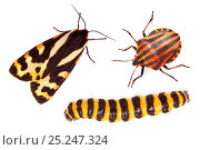 Купить «Aposematism describes the use of bright colouration and bold patterns to advertise that an organism is unpalatable or dangerous. All three insects are...», фото № 25247324, снято 19 августа 2018 г. (c) Nature Picture Library / Фотобанк Лори