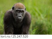 Купить «Western lowland gorilla (Gorilla gorilla gorilla) juvenile female 'Bokata' aged 6 years head and shoulders portrait, Bai Hokou, Dzanga Sangha Special Dense...», фото № 25247520, снято 14 июля 2020 г. (c) Nature Picture Library / Фотобанк Лори