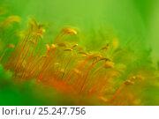 Купить «Close up of moss (Bryophyta) sporophytes, Runcu Valley, Dambovita County, Leota Mountain Range, Carpathian Mountains, Romania, July», фото № 25247756, снято 20 февраля 2018 г. (c) Nature Picture Library / Фотобанк Лори