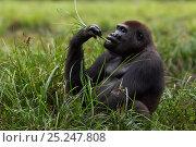 Купить «Western lowland gorilla (Gorilla gorilla gorilla) sub-adult male 'Kunga' aged 13 years feeding on sedge grasses in Bai Hokou, Dzanga Sangha Special Dense...», фото № 25247808, снято 21 июля 2019 г. (c) Nature Picture Library / Фотобанк Лори