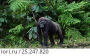 Купить «Western lowland gorilla (Gorilla gorilla gorilla) sub-adult female 'Mosoko' aged 8 years walking in Bai Hokou, Dzanga Sangha Special Dense Forest Reserve, Central African Republic. November 2011.», фото № 25247820, снято 18 января 2019 г. (c) Nature Picture Library / Фотобанк Лори