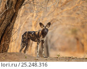 Купить «African Wild Dog (Lycaon pictus) standing portrait, Mana Pools National Park, Zimbabwe, October 2012», фото № 25248316, снято 20 августа 2019 г. (c) Nature Picture Library / Фотобанк Лори