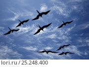 Купить «Great Frigatebirds (Fregata minor) in flight silhouetted against sky. Genovesa, Galapagos Islands.», фото № 25248400, снято 18 июня 2019 г. (c) Nature Picture Library / Фотобанк Лори