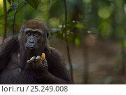 Купить «Western lowland gorilla (Gorilla gorilla gorilla) juvenile male 'Mobangi' aged 5 years feeding on fruit, Bai Hokou, Dzanga Sangha Special Dense Forest Reserve, Central African Republic. December 2011.», фото № 25249008, снято 23 февраля 2019 г. (c) Nature Picture Library / Фотобанк Лори