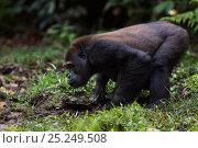 Купить «Western lowland gorilla (Gorilla gorilla gorilla) sub-adult male 'Kunga' aged 13 years drinking in Bai Hokou, Dzanga Sangha Special Dense Forest Reserve, Central African Republic. November 2011.», фото № 25249508, снято 21 июля 2019 г. (c) Nature Picture Library / Фотобанк Лори