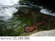 Купить «Japanese giant salamander (Andrias japonicus) moving upstream to spawn, Japan, August», фото № 25249980, снято 26 мая 2019 г. (c) Nature Picture Library / Фотобанк Лори