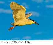 Купить «Black-crowned Night Heron (Nycticorax nycticorax) in flight. Everglades National Park, Florida, USA, February.», фото № 25250176, снято 12 июля 2020 г. (c) Nature Picture Library / Фотобанк Лори
