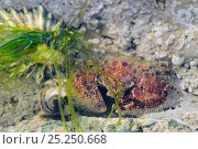 Broad-clawed porcelain crab (Porcellana platycheles) hiding behind Gutweed (Ulva / Enteromorpha intestinalis) in a rockpool alongide a Flat / Purple top... Стоковое фото, фотограф Nick Upton / Nature Picture Library / Фотобанк Лори