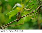 Купить «Male Sword billed hummingbird (Ensifera ensifera), Guango, Ecuador.», фото № 25251248, снято 14 июля 2020 г. (c) Nature Picture Library / Фотобанк Лори