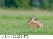 European hares (Lepus europaeus) mating, UK, February. Стоковое фото, фотограф Andy Rouse / Nature Picture Library / Фотобанк Лори