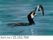 Купить «Common cormorant (Phalacrocorax carbo) catching a european eel (Anguilla anguilla) captive, Alsace, France.», фото № 25252704, снято 25 мая 2019 г. (c) Nature Picture Library / Фотобанк Лори