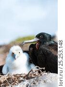 Купить «Great frigatebird (Fregata minor) male on nest with chick in white plumage. Espanola Island, Galapagos, Ecuador, May.», фото № 25253148, снято 26 июня 2019 г. (c) Nature Picture Library / Фотобанк Лори