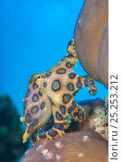 Купить «A blue ring octopus (Hapalochlaena lunulata) flashes its blue rings as it crawls over a coral reef. Kapalai Island, Sulu Sea, Sabah, Borneo, Malaysia..», фото № 25253212, снято 16 декабря 2017 г. (c) Nature Picture Library / Фотобанк Лори