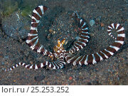 Купить «A wunderpus octopus (Wunderpus photogenicus) warning pose, which includes flared arms and strongly contrasting striped pattern. At the entrance to its burrow. Java sea, Amed, Bali, Indonesia.», фото № 25253252, снято 25 сентября 2018 г. (c) Nature Picture Library / Фотобанк Лори
