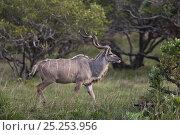 Купить «Greater Kudu (Tragelaphus strepsiceros) male in profile. St Lucia Wetland National Park, KwaZulu-Natal, South Africa, October.», фото № 25253956, снято 25 января 2020 г. (c) Nature Picture Library / Фотобанк Лори
