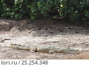 Купить «Nile Crocodile (Crocodylus niloticus) basking at water side. St. Lucia, KwaZulu-Natal, South Africa, October.», фото № 25254348, снято 15 октября 2019 г. (c) Nature Picture Library / Фотобанк Лори