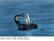Купить «Common cormorant (Phalacrocorax carbo) catching a european eel (Anguilla anguilla) captive, Alsace, France.», фото № 25254352, снято 25 мая 2019 г. (c) Nature Picture Library / Фотобанк Лори