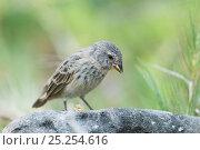 Купить «Small ground finch (Geospiza fuliginosa) with seed in beak. Santa Cruz Island, Galapagos, June.», фото № 25254616, снято 26 июня 2019 г. (c) Nature Picture Library / Фотобанк Лори