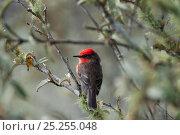 Купить «Vermilion flycatcher (Pyrocephalus rubinus) male perched. Galapagos Islands, Ecuador, December.», фото № 25255048, снято 26 июня 2019 г. (c) Nature Picture Library / Фотобанк Лори