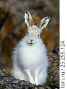 Купить «Arctic hare (Lepus arcticus), Ellesmere Island, Nunavut, Canada, June 2012.», фото № 25255124, снято 15 августа 2018 г. (c) Nature Picture Library / Фотобанк Лори