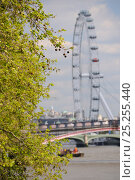 Купить «London Plane Tree (Platanus x hispanica) with dangling fruits overhanging the River Thames with the London Eye in the background, London, UK, May. 2012», фото № 25255440, снято 26 мая 2018 г. (c) Nature Picture Library / Фотобанк Лори