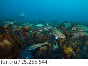 Купить «A diver swims with an aggregation of  Atlantic cod (Gadus morhua) over a kelp forest, fish approximately 1m in length. These cod were gathered in early...», фото № 25255544, снято 18 сентября 2018 г. (c) Nature Picture Library / Фотобанк Лори