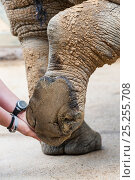 Купить «White rhino (Ceratotherium simum) having feet checked for health, Colchester Zoo, May 2012. Editorial use only», фото № 25255708, снято 23 мая 2018 г. (c) Nature Picture Library / Фотобанк Лори