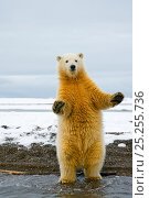 Купить «Young Polar bear (Ursus maritimus) standing and trying to balance in shallow water along the Bernard Spit, 1002 area of the Arctic National Wildlife Refuge...», фото № 25255736, снято 3 июля 2020 г. (c) Nature Picture Library / Фотобанк Лори