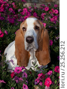 Купить «Red and white Basset Hound sitting among garden petunias. USA», фото № 25256212, снято 19 января 2018 г. (c) Nature Picture Library / Фотобанк Лори