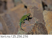 Купить «Spiny green lizard (Sceloporus malachiticus) basking on rock, Costa Rica», фото № 25256216, снято 31 мая 2020 г. (c) Nature Picture Library / Фотобанк Лори