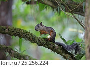 Купить «Variegated Squirrel (Sciurus variegatoides) feeding on rainforest fruit, Costa Rica», фото № 25256224, снято 20 января 2020 г. (c) Nature Picture Library / Фотобанк Лори