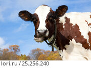 Portrait of Ayrshire cow.  Vermont, USA, October. Стоковое фото, фотограф Lynn M Stone / Nature Picture Library / Фотобанк Лори