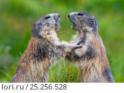 Купить «RF- Alpine marmots (Marmota marmota) fighting, Hohe Tauern National Park, Austria. July. (This image may be licensed either as rights managed or royalty free.)», фото № 25256528, снято 28 мая 2020 г. (c) Nature Picture Library / Фотобанк Лори