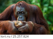 Bornean Orangutan (Pongo pygmaeus wurmbii) baby aged 3-6 months being groomed by its mother 'Gina'. Camp Leakey, Tanjung Puting National Park, Central... Стоковое фото, фотограф Anup Shah / Nature Picture Library / Фотобанк Лори