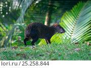 Купить «Central American agouti (Dasyprocta punctata) Gamboa, Soberania National Park, Panama», фото № 25258844, снято 21 марта 2019 г. (c) Nature Picture Library / Фотобанк Лори