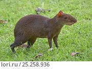 Купить «Central American agouti (Dasyprocta punctata) Gamboa, Soberania National Park, Panama», фото № 25258936, снято 24 января 2019 г. (c) Nature Picture Library / Фотобанк Лори