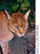 Купить «African golden cat (Caracal / Profelis aurata) female head portrait, ranging from Senegal to Democratic Republic of the Congo, Kenya. Captive.», фото № 25259456, снято 22 апреля 2018 г. (c) Nature Picture Library / Фотобанк Лори