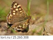Купить «Speckled wood butterfly (Pararge aegeria) resting on a rock, Atlantic Oakwoods, Sunart, Scotland, May.», фото № 25260308, снято 17 августа 2018 г. (c) Nature Picture Library / Фотобанк Лори