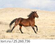 Купить «RF- Wild Mustang bay running. Great Divide Basin, Wyoming, USA.», фото № 25260736, снято 19 августа 2018 г. (c) Nature Picture Library / Фотобанк Лори