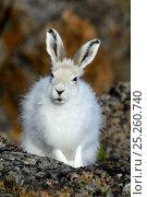 Купить «Arctic hare (Lepus arcticus), Ellesmere Island, Nunavut, Canada, June 2012.», фото № 25260740, снято 15 августа 2018 г. (c) Nature Picture Library / Фотобанк Лори