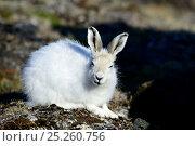 Купить «Arctic hare (Lepus arcticus), Ellesmere Island, Nunavut, Canada, June 2012.», фото № 25260756, снято 15 августа 2018 г. (c) Nature Picture Library / Фотобанк Лори