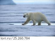 Купить «Male Polar bear (Ursus maritimus) walking on pack ice, Ellesmere Island, Nunavut, Canada, June 2012.», фото № 25260784, снято 19 октября 2019 г. (c) Nature Picture Library / Фотобанк Лори