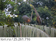 Купить «Bare-throated tiger heron (Tigrisoma mexicanum) pair displaying, Costa Rica», фото № 25261716, снято 17 июля 2018 г. (c) Nature Picture Library / Фотобанк Лори