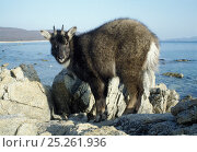 Купить «Amur long-tailed goral (Naemorhedus caudatus raddeanus) on rocky coast, a rare ungulate in the Amur-Heilong basin, captive animal, Lazovskiy zapovednik, Far East Russia, vulnerable species», фото № 25261936, снято 20 сентября 2019 г. (c) Nature Picture Library / Фотобанк Лори